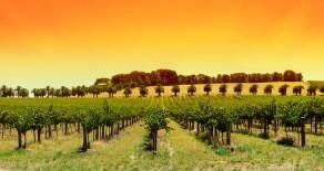Geschichte des Weinbaus in Australien